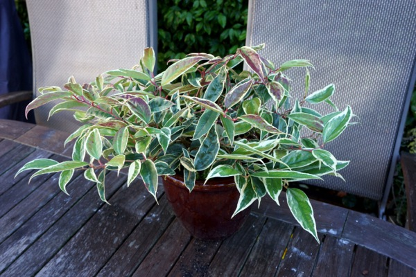 Leucothoe Whitewater® in pot