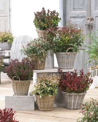 Leucothoe Whitewater® on patio