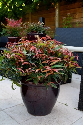 Leucothoe Burning Love on patio