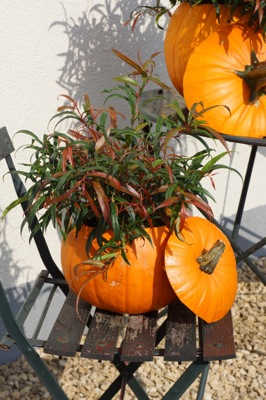 Leucothoe Halloween on patio