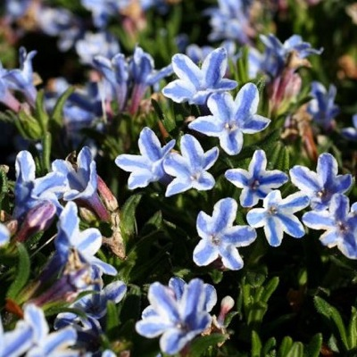 Lithodora Star flower image