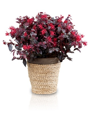 Loropetalum Ever Red in pot