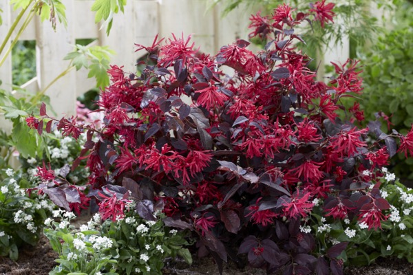 Loropetalum Ever Red in garden