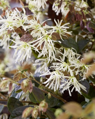 Loropetalum Ruby Snow flower image