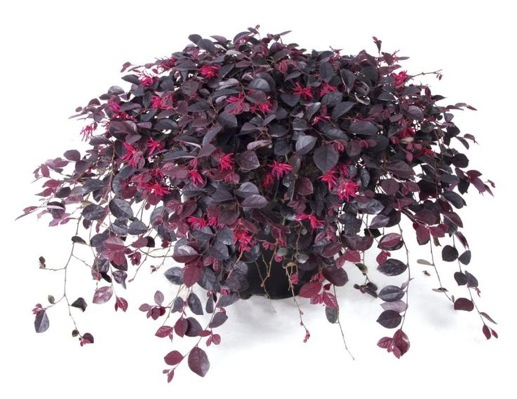 Loropetalum Ruby Runner in pot