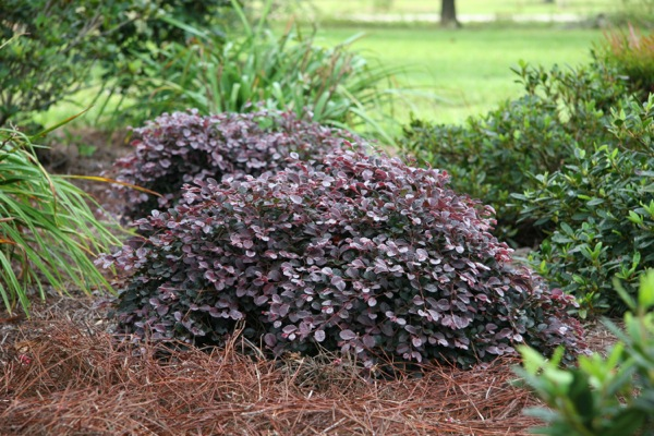 Loropetalum Ruby Runner in garden