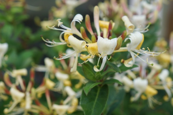 Lonicera Blond & Beyond flower close-up