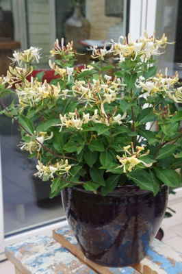 Lonicera Blond & Beyond in pot