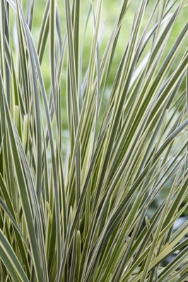 Lomandra White Sands foliage close-up