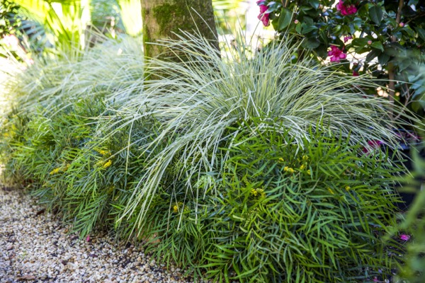 Lomandra White Sands in garden