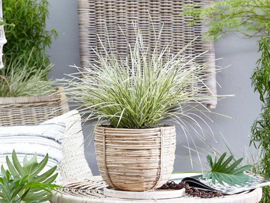 Lomandra White Sands on patio