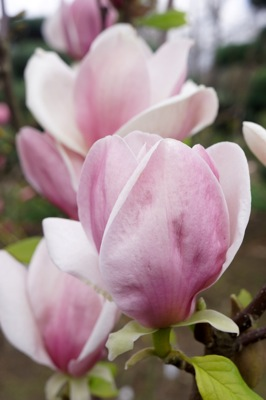 Magnolia Cameo flower close-up