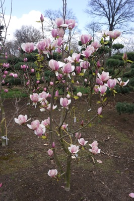 Magnolia Cameo with nursery
