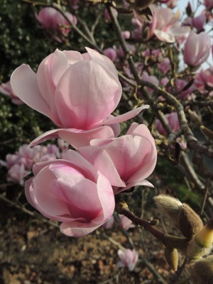 Magnolia Festirose® flower close-up