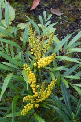 Mahonia Sweet Winter® flower image