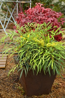 Mahonia Sweet Winter® on patio