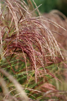 Miscanthus Red Cloud® flower close-up