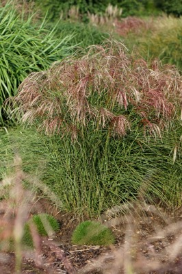 Miscanthus Red Cloud® in garden