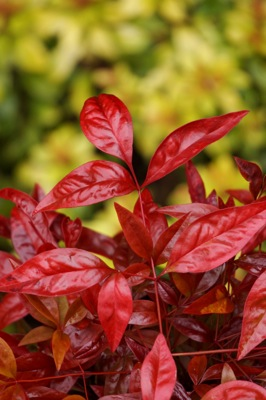 Nandina Blush Pink foliage close-up