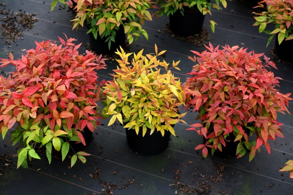 Nandina Blush Pink in pot
