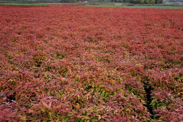 Nandina Blush Pink with nursery