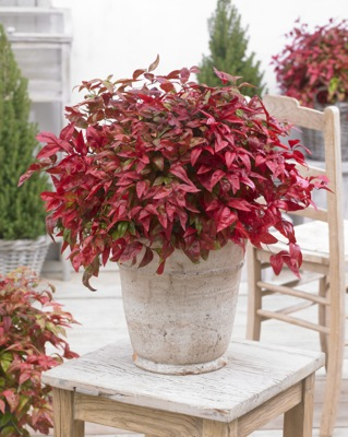Nandina Blush Pink on patio