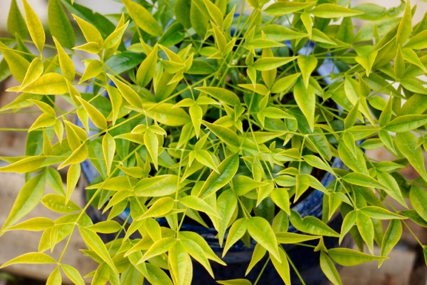 Nandina Brightlight foliage