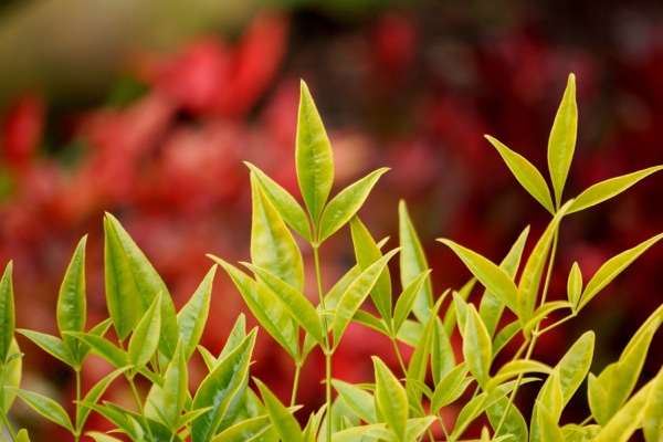 Nandina Brightlight foliage close-up