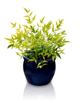 Nandina Brightlight in pot