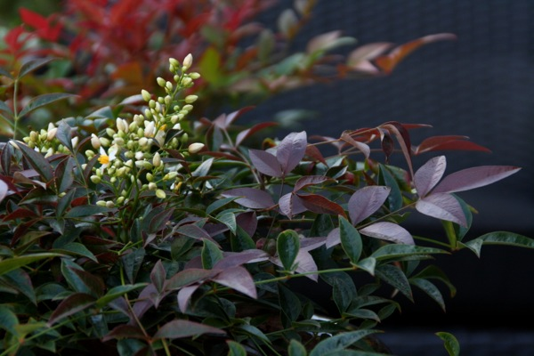Nandina Flirt flower close-up