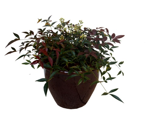 Nandina Flirt in pot