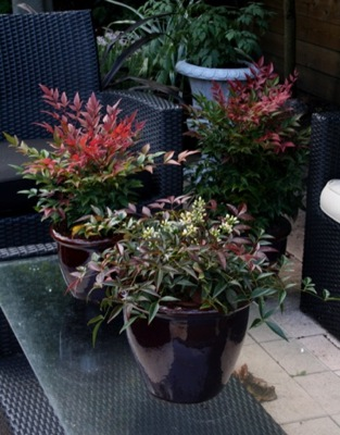 Nandina Flirt on patio