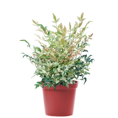 Nandina Twilight in pot