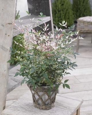 Nandina Twilight on patio