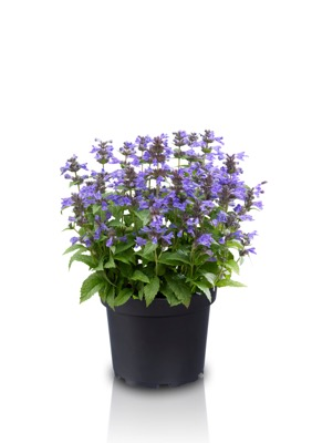 Nepeta Neptune in pot