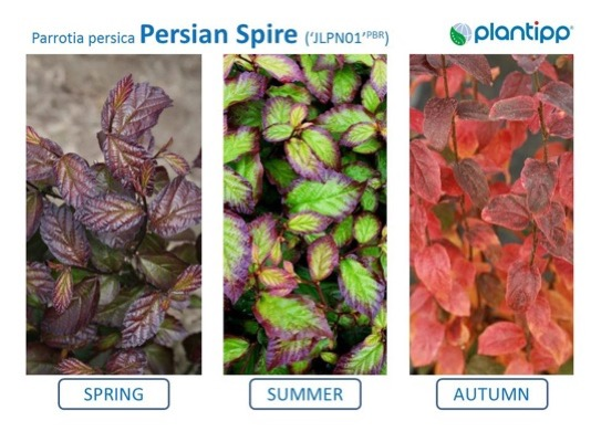 Flyer of Parrotia Persian Spire