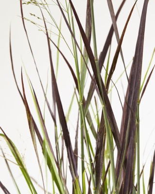 Panicum Purple Breeze foliage
