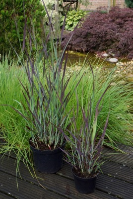 Panicum Purple Breeze in pot