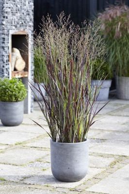 Panicum Purple Breeze on patio