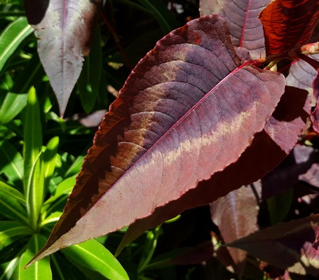Persicaria Red Dragon foliage close-up