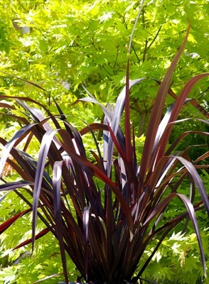 Phormium Black Adder foliage close-up