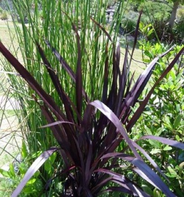 Phormium Black Adder in garden