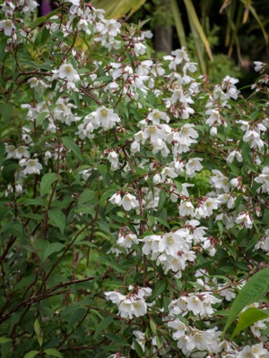 Philadelphus Dainty Lady in garden