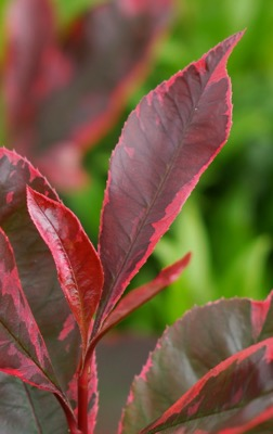 Photinia Louise foliage close-up