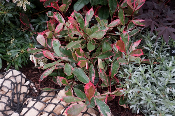 Photinia Louise in garden