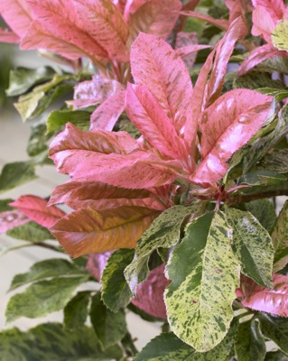 Photinia Pink Crispy foliage close-up