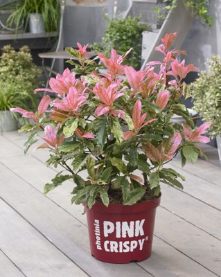 Photinia Pink Crispy in pot