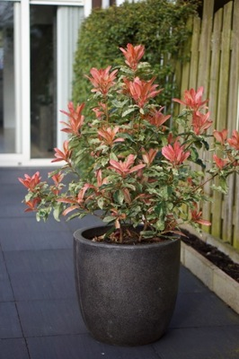 Photinia Pink Crispy on patio