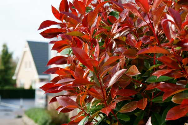 Photinia Red Light foliage