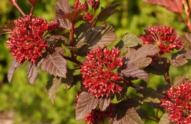 Physocarpus Diable d'Or® flower close-up